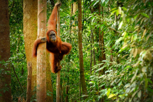 Jumping wild orangutan Orangutan spotted in the rainforest jumping from tree to tree indonesia stock pictures, royalty-free photos & images