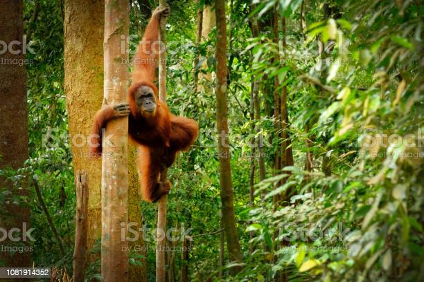 Jumping Wild Orangutan Stock Photo - Download Image Now