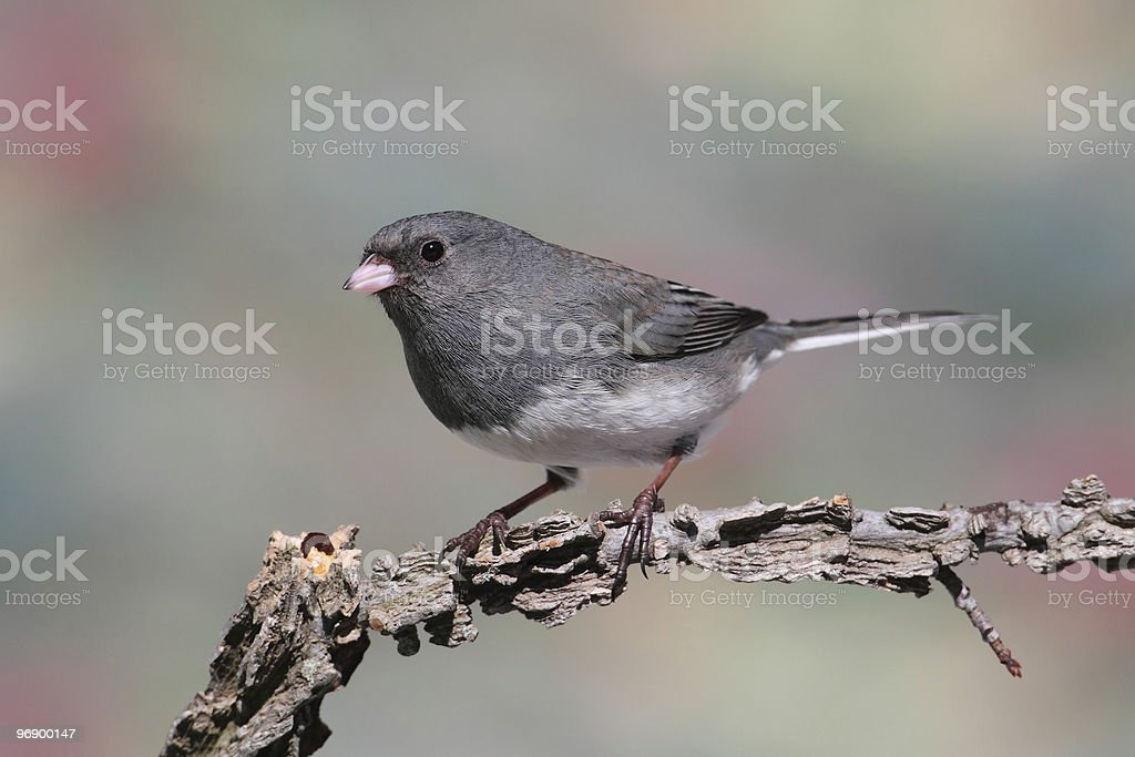 Junco On A Branch royalty-free stock photo