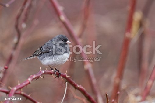 A photo of slate-colored Dark Eyed Junco on rose colored thorn bush.