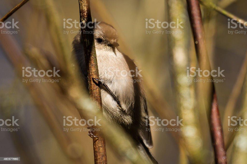 Junco Perches in a Tree stock photo