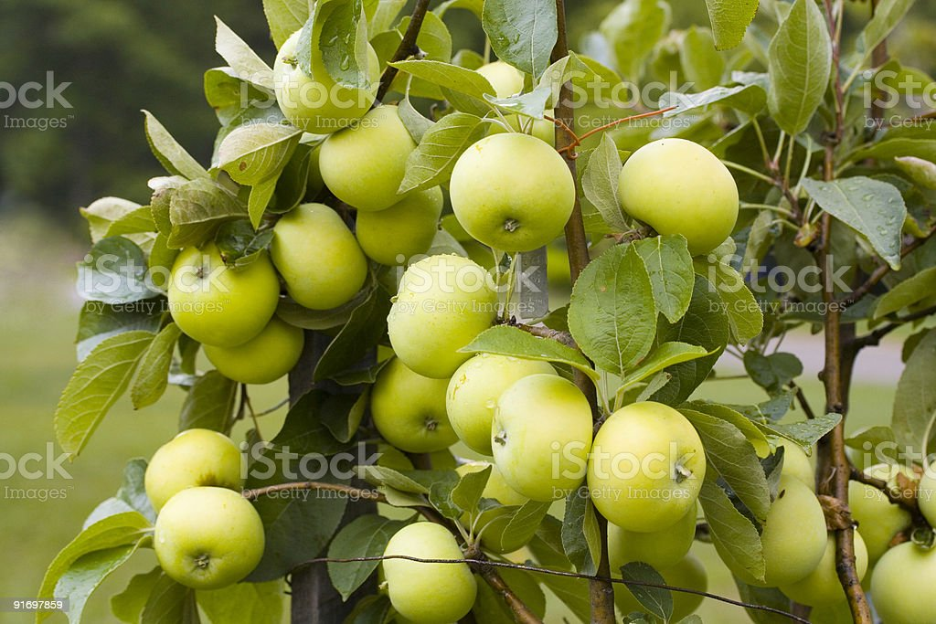 June Apples royalty-free stock photo