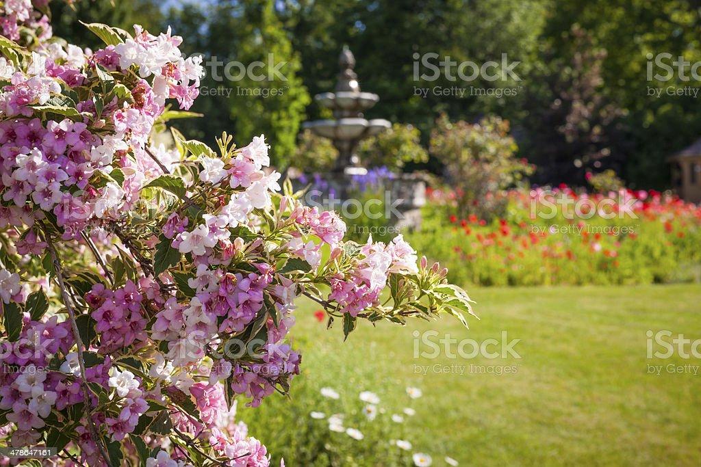 Juni Garten mit blühenden weigela – Foto