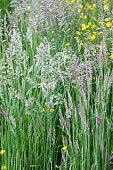 Wildflower -  June grass & Buttercups