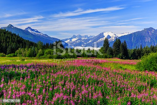 Mendenhall Glacier Viewpoint with Fireweed in bloom. Juneau, Alaska