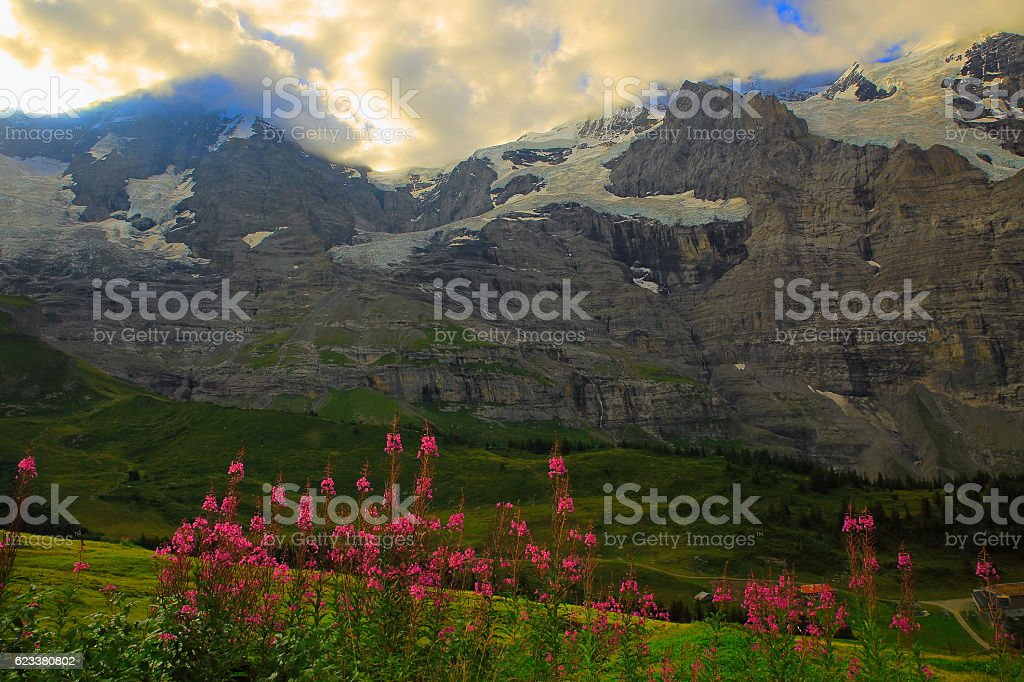 Jungfrau and Pink wildflowers, Lauterbrunnen valley, Bernese Oberland, Swiss Alps stock photo