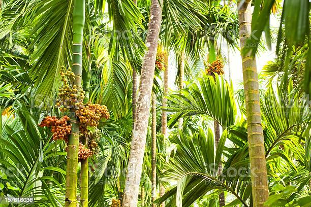 Photo of Jungle - Betel Palm ( Areca )