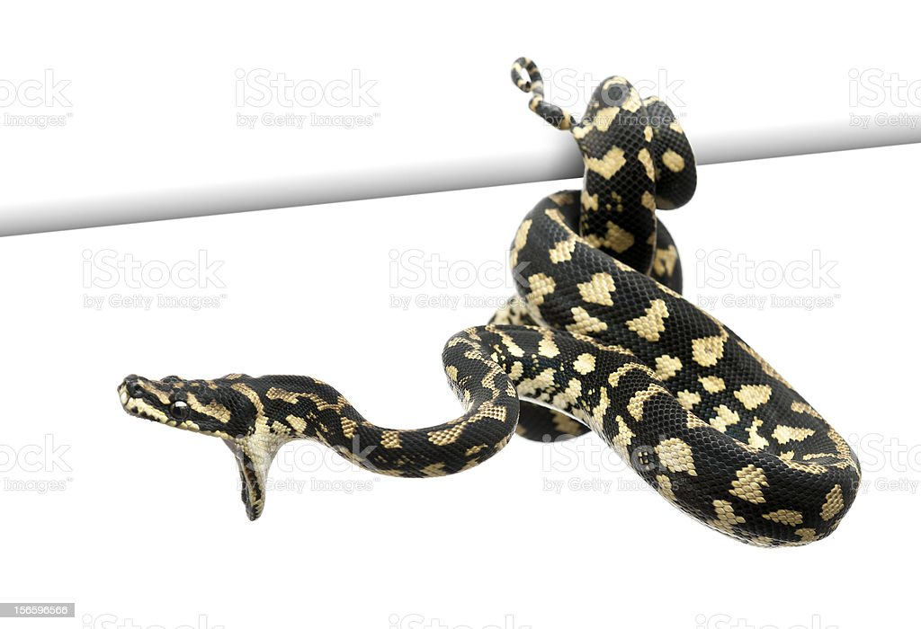 Jungle carpet python attacking, Morelia spilota cheynei against white background stock photo