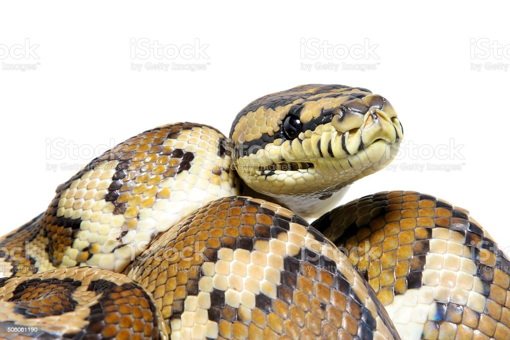 Jungle carpet python, Morelia spilota variegata on white stock photo