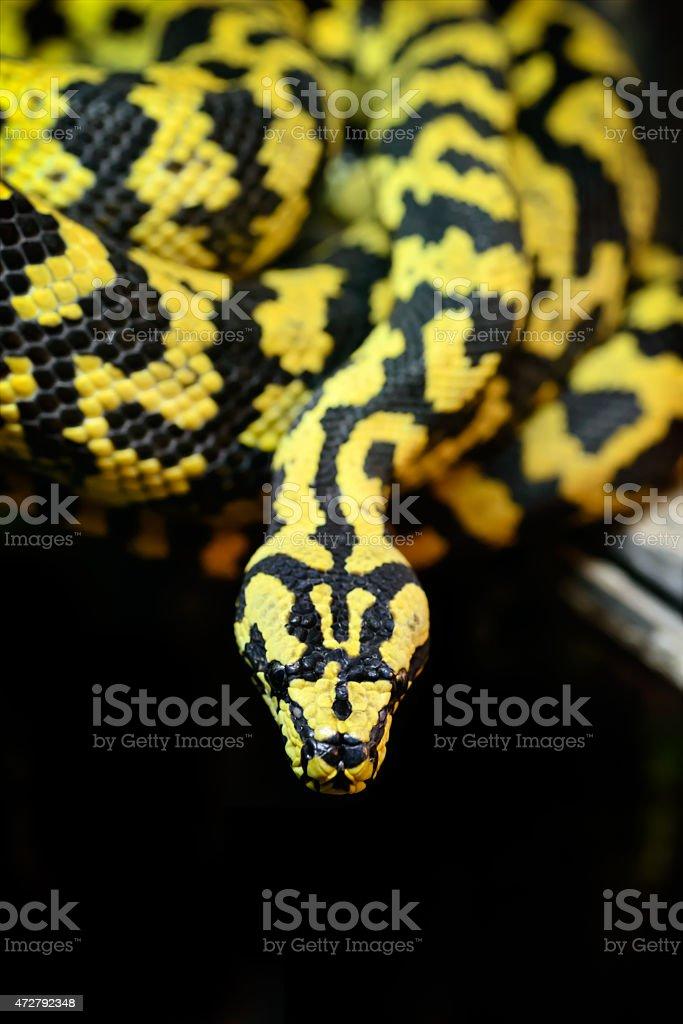 Jungle carpet python royalty-free stock photo