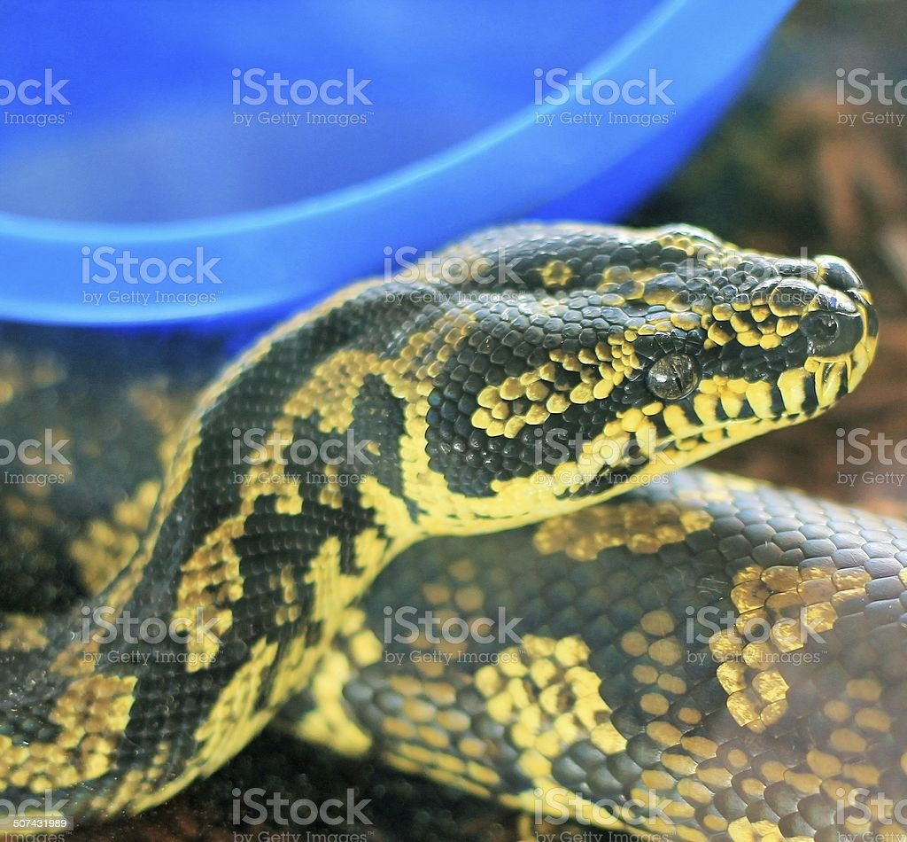 Jungle Carpet Python stock photo