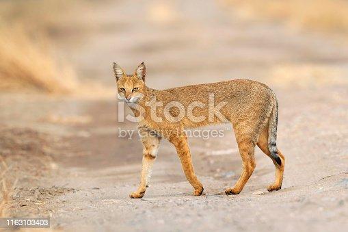 Jungle cat, Felis chaus, Blackbuck National park, Velavadar, Bhavnagar, Gujarat, India.