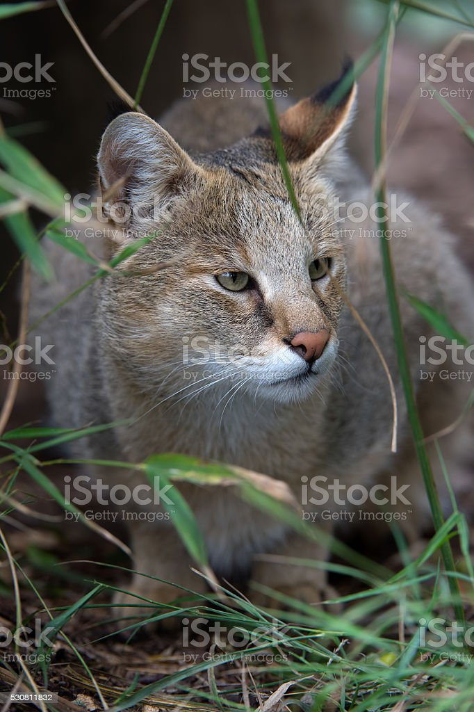 Jungle Cat (Felis Chaus) stock photo