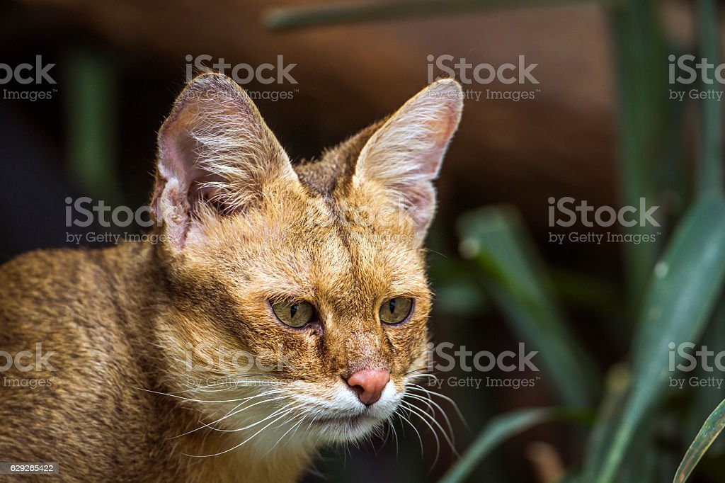 Jungle cat stock photo