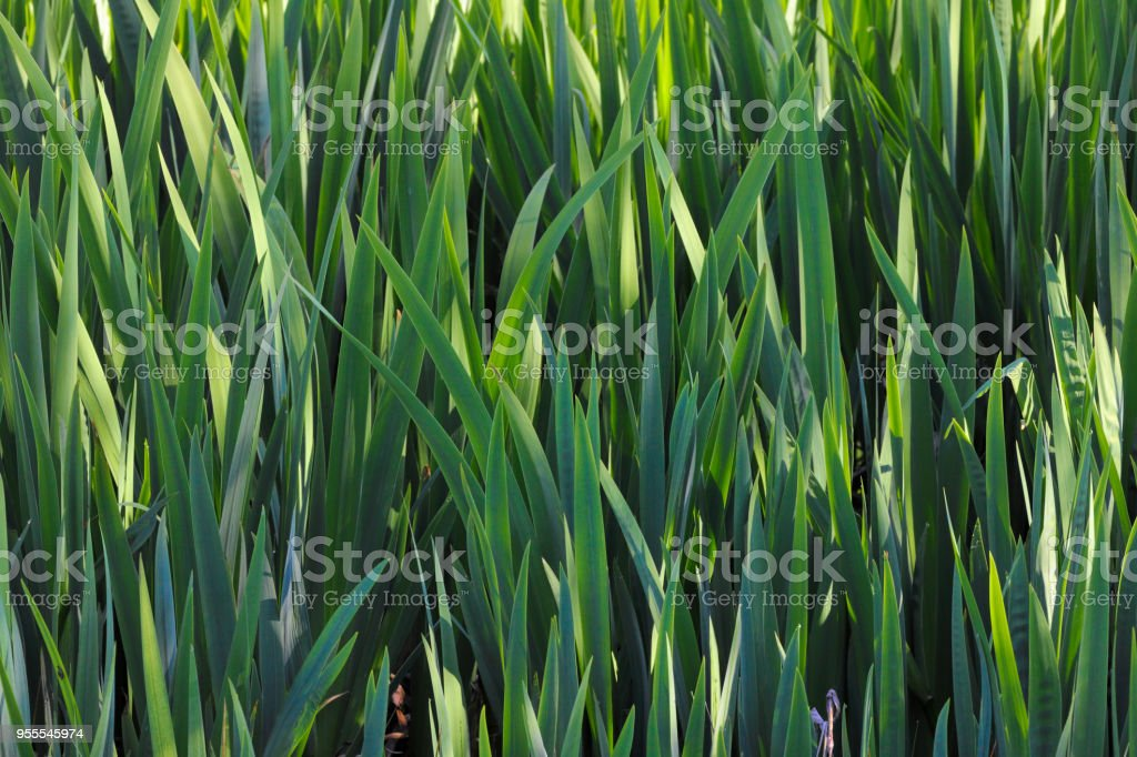 Jungle green leaf blades of yellow iris in shallow water stock photo