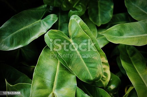 915520716istockphoto Jungle green leaves background 1078430888