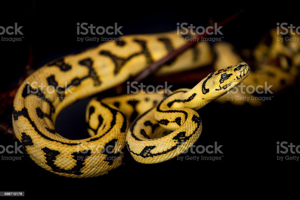 Jungle Jaguar Carpet Python on black - Stock image .