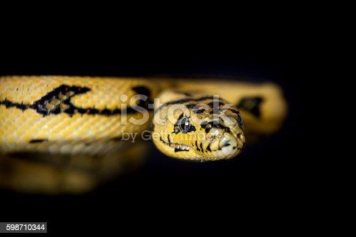 ... Jungle Jaguar Carpet Python On Black Stock Photo & More Pictures of Animal