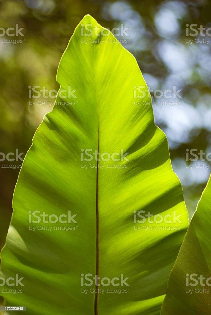 Jungle Leaf 3 stock photo
