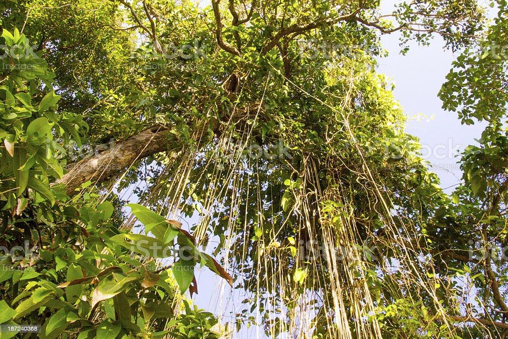 Jungle liana stock photo