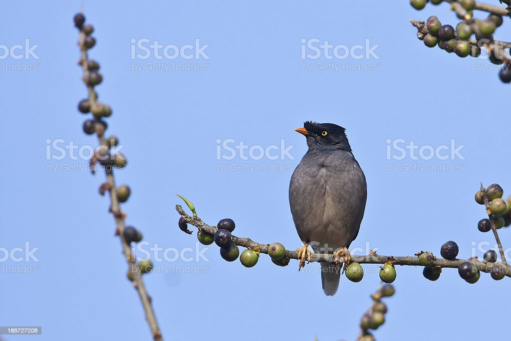 Jungle Myna bird perched in fruit tree stock photo