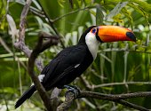 This image shows a wild Toco Toucan perched on a lush forest tree top canopy branch.
