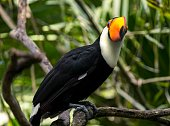 This image shows a wild Toco Toucan perched on a branch and looking at the camera.