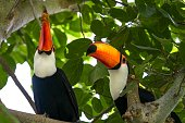 This image shows a pair of jungle Toco Toucans perching together in a lush forest tree top canopy.