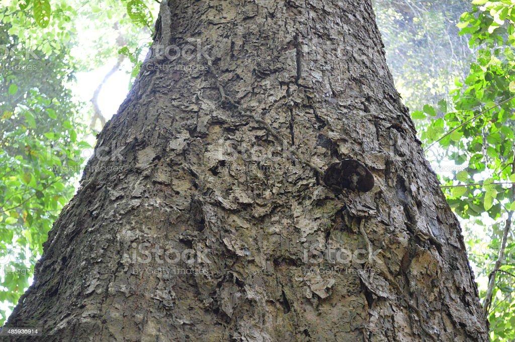Jungle tree in Khaoyai National Park Thailand stock photo