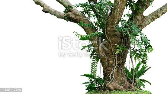 Jungle tree trunk with climbing Monstera (Monstera deliciosa), bird