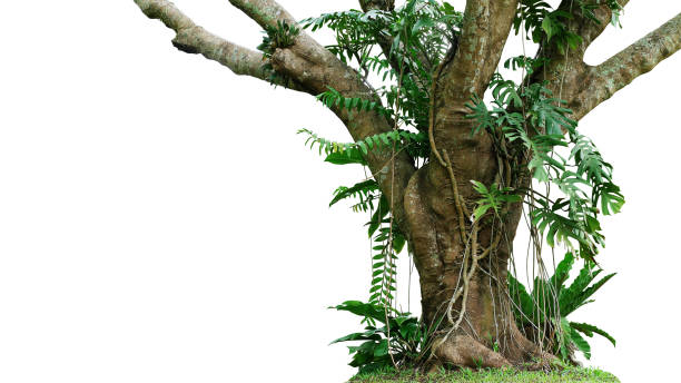 "jungle tree trunk with climbing monstera (monstera deliciosa), bird""u2019s nest fern, philodendron and forest orchid green leaves tropical foliage plants isolated on white background with clipping path. - jungle стоковые фото и изображения"