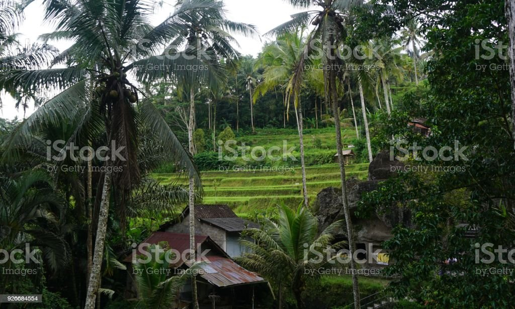 Jungle view Rice field Bali with clouds and palm trees stock photo