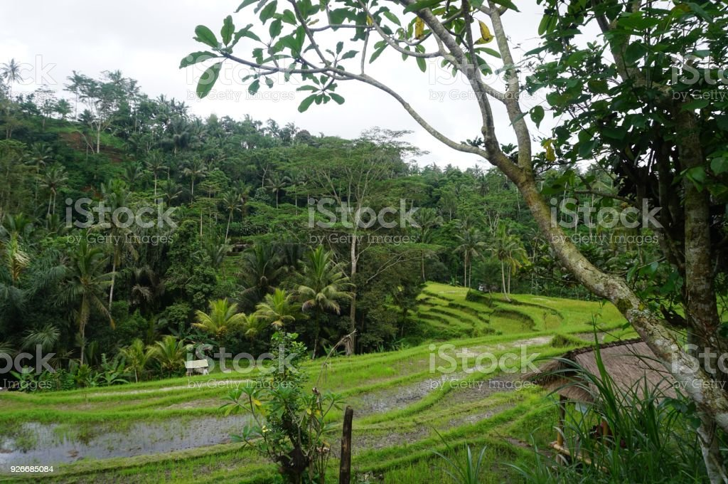 Jungle view very green Rice field Bali with clouds and palm trees stock photo