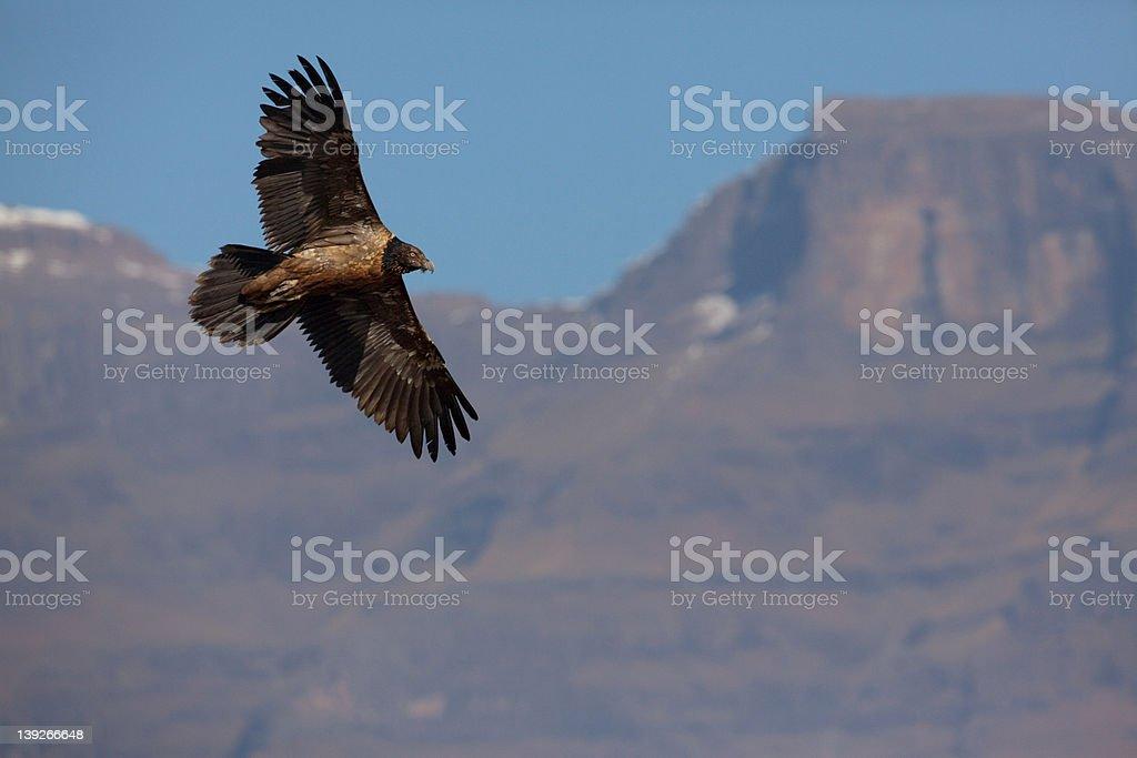 Junior Lammergeier (Bearded Vulture) at Giant's Castle, Drakensburg Mountains, Africa stock photo