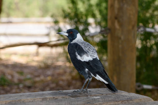 A junior magpie standing on wooden bench, blurred background. stock photo
