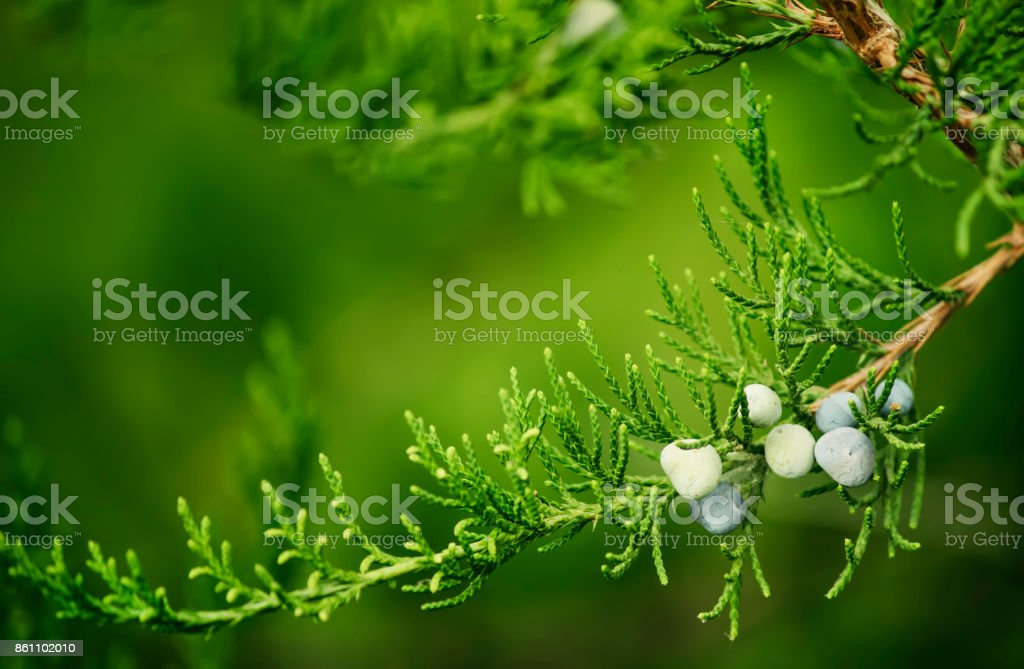 Juniper berries on a bush, natural background stock photo