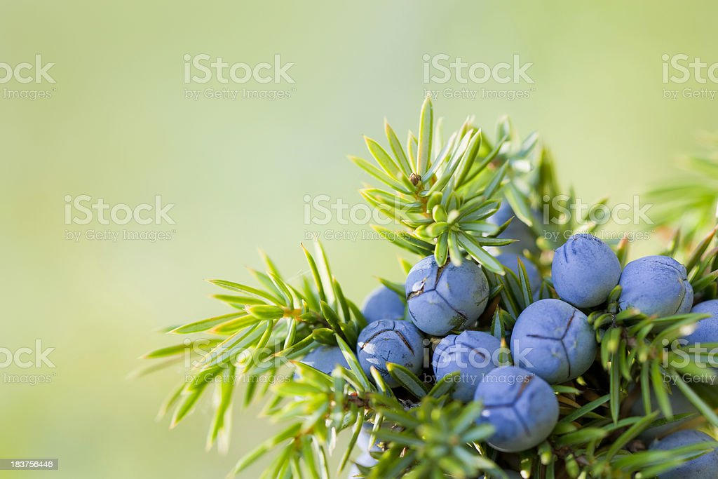 Juniper berries stock photo