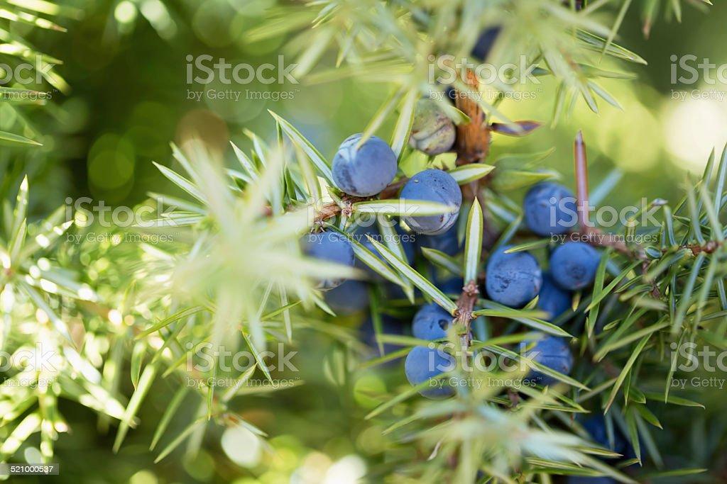 Juniper bayas - foto de stock