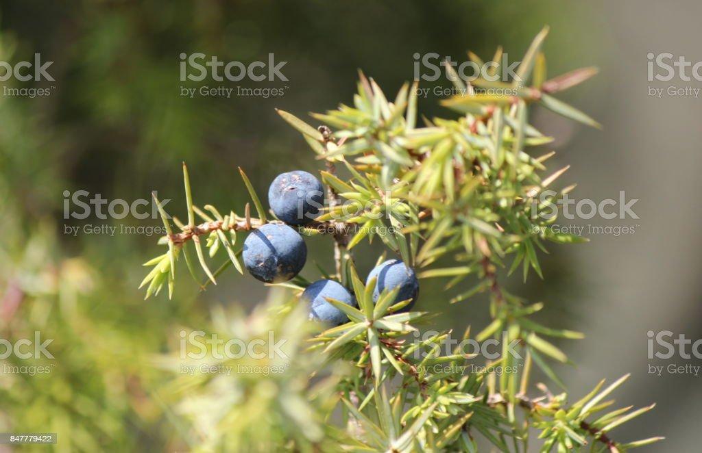 Juniper berries stock photo