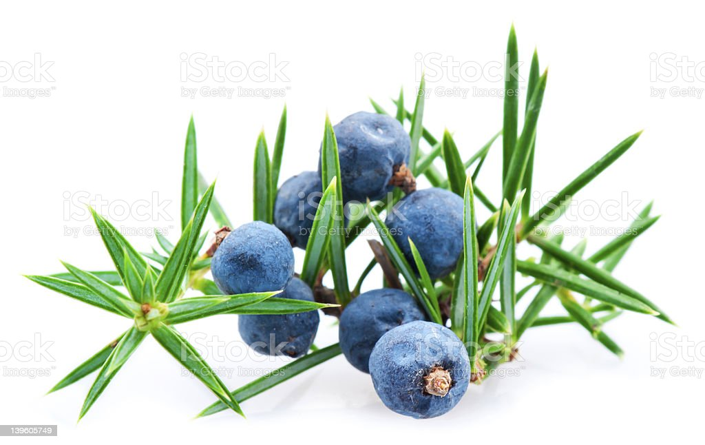 Juniper berry stock photo