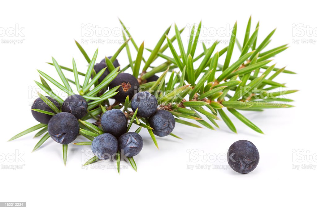 Juniper berry ramita - foto de stock