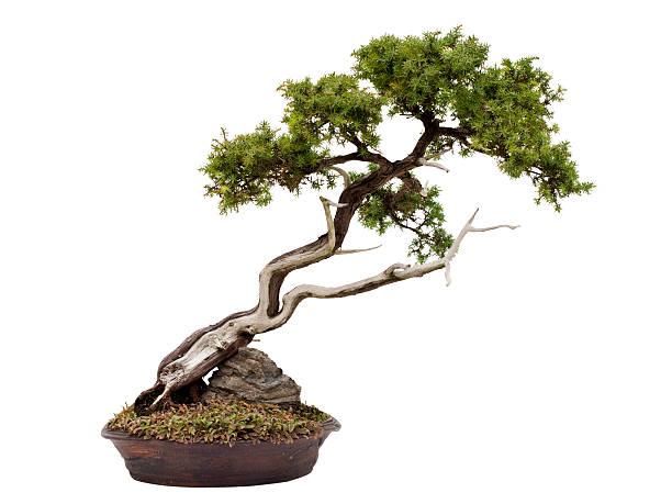 Juniper bonsaï sur blanc - Photo