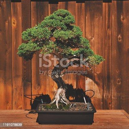 Juniper Japanese bonsai tree against wood background.