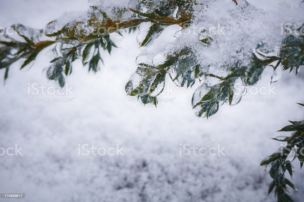 Juniper branch covered with ice. Water droplets on the needles. royalty-free stock photo