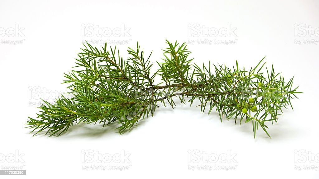 Juniper branch royalty-free stock photo
