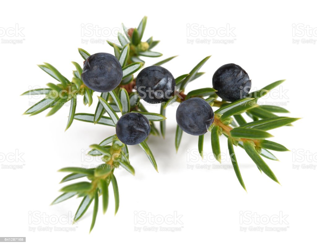 Juniper branch stock photo