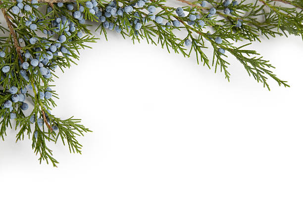 Juniper Branch with Blue Frosted Berries, Corner Border Frame Juniper tree branches and blue berries as a border frame element. Isolated on white. Sometimes called an Eastern Red Cedar. Did you know that they make gin out of juniper berries? Go ahead -- bite into one some time, and it becomes obvious! terryfic3d stock pictures, royalty-free photos & images