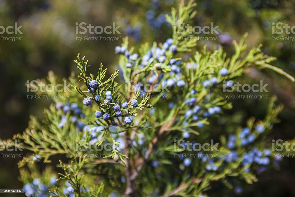 Juniper branch with female cones stock photo