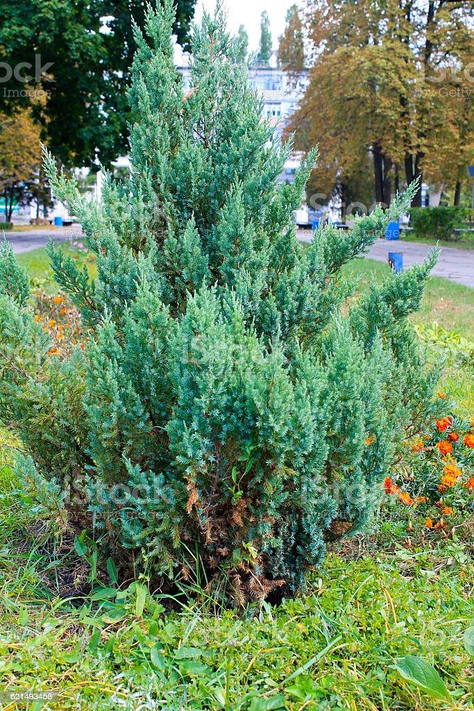Juniper bush in a park Lizenzfreies stock-foto