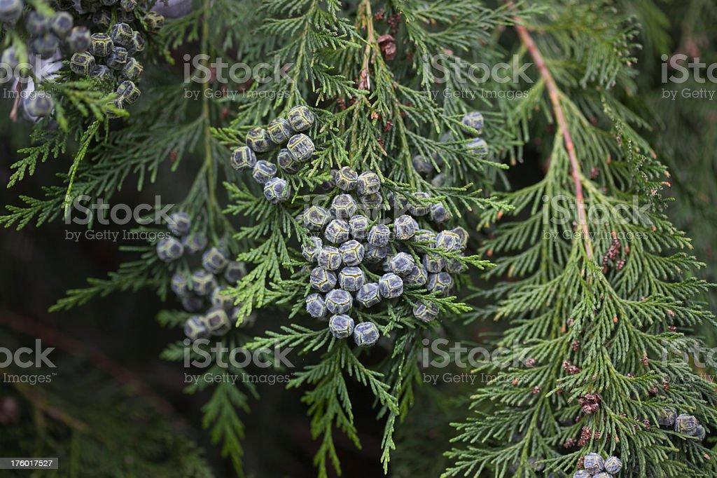 Juniper - Evergreen royalty-free stock photo